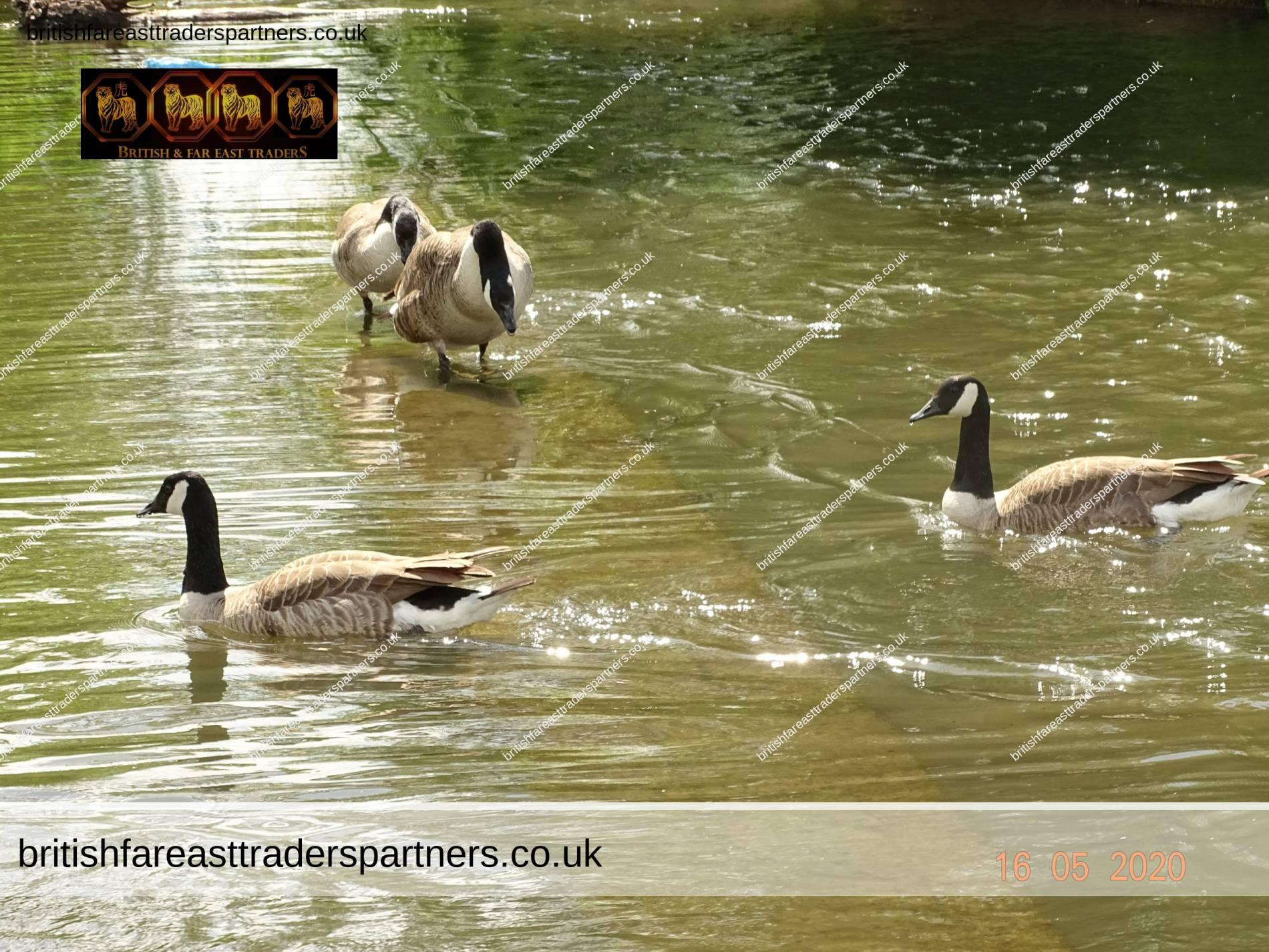 RIVERSIDE WALK: RIVER WEY & RIVER THAMES, SURREY, ENGLAND